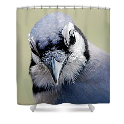 Blue Jay Shower Curtain by Skip Willits