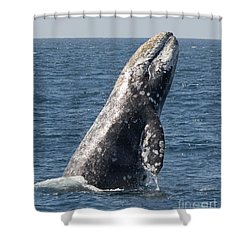 Breaching Gray Whale In Dana Point Shower Curtain by Loriannah Hespe