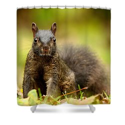 Curious Black Squirrel Shower Curtain by Mircea Costina Photography