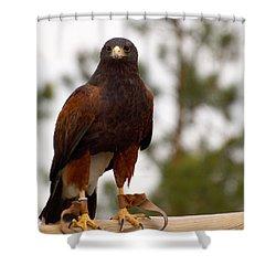 Harris's Hawk Shower Curtain