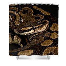A Ball Python Python Regius Shower Curtain