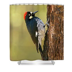 Acorn Woodpecker Shower Curtain by Doug Herr