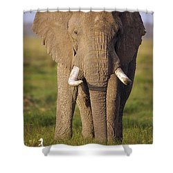 African Elephant Loxodonta Africana Shower Curtain by Gerry Ellis