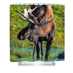 Alaska Moose 5 Shower Curtain