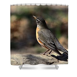 American Robin On Rock Shower Curtain by Sheila Brown