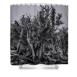 Ancient Bristlecone Pine Shower Curtain