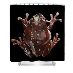Australian Green Tree Frog, Or Litoria Caerulea Isolated Black Background Shower Curtain