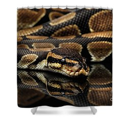 Ball Or Royal Python Snake On Isolated Black Background Shower Curtain