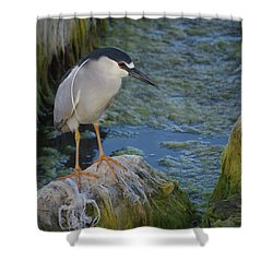 Black Crowned Night Heron Shower Curtain by Greg Graham