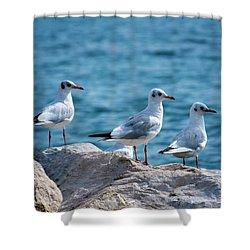Black-headed Gulls, Chroicocephalus Ridibundus Shower Curtain