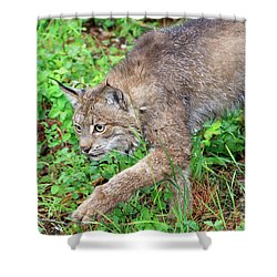 Canada Lynx Lynx Canadensis Shower Curtain by Louise Heusinkveld