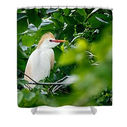 Cattle Egret At Rest Shower Curtain