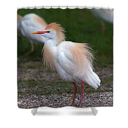 Cattle Egret Walking Close Shower Curtain