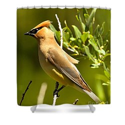 Cedar Waxwing Closeup Shower Curtain by Adam Jewell