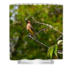 Cedar Waxwing Shower Curtain by Dan Hefle