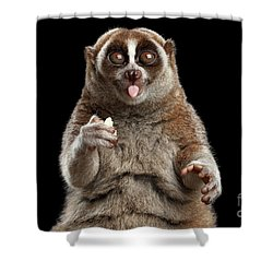 Close-up Lemur Slow Loris Isolated Black Background Shower Curtain