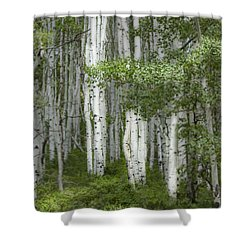 Delicate Aspens. Colorado Shower Curtain
