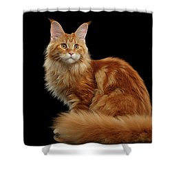 Ginger Maine Coon Cat Isolated On Black Background Shower Curtain by Sergey Taran