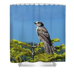 Gray Jay Shower Curtain by Kathy King