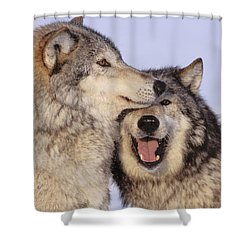 Gray Wolves Shower Curtain by John Hyde - Printscapes