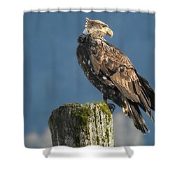 Immature Bald Eagle Shower Curtain by Brian Chase