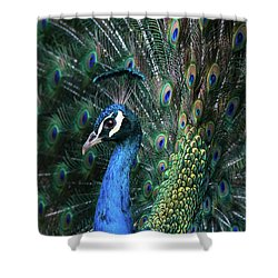 Indian Peacock With Tail Feathers Up Shower Curtain