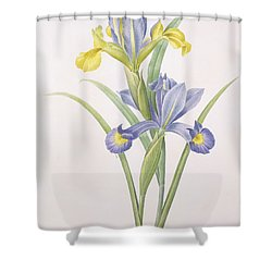 Iris Xiphium Shower Curtain by Pierre Joseph Redoute