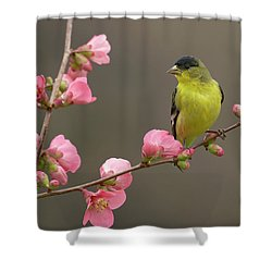 Lesser Goldfinch Shower Curtain by Doug Herr