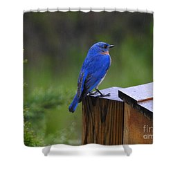 Shower Curtain featuring the photograph Male Bluebird  by Brenda Bostic