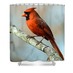 Male Cardinal Shower Curtain by Debbie Green