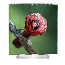 Male Cardinal Portrait Shower Curtain