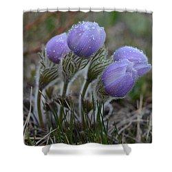 Pasque Flowers  Shower Curtain