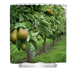 Pear Orchard Shower Curtain
