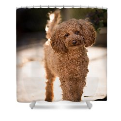 Poodle Shower Curtain by Maurizio Bacciarini