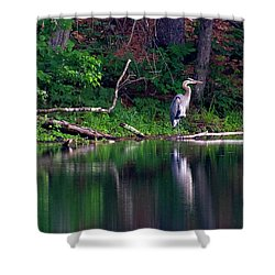 Posing Great Blue Heron  Shower Curtain