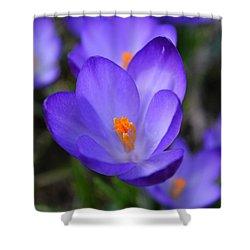 Purple Crocuses - 2015 Shower Curtain
