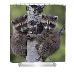 Shower Curtain featuring the photograph Raccoon Two Babies Climbing Tree North by Tim Fitzharris