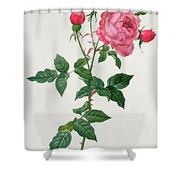 Rosa Indica Shower Curtain by Pierre Joseph Redoute