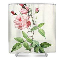 Rosa Indica Vulgaris Shower Curtain by Pierre Joseph Redoute