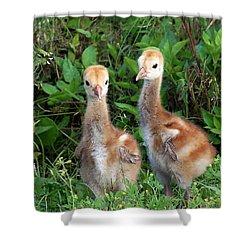 Sandhill Crane Chicks  Shower Curtain