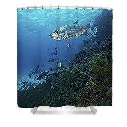 School Of Tarpon, Bonaire, Caribbean Shower Curtain by Terry Moore