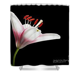 Study Of A Lily In Magenta, White, And Red #2 By Flower Photographer David Perry Lawrence Shower Curtain