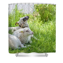 Shower Curtain featuring the photograph Three Little Lambs by Patricia Hofmeester