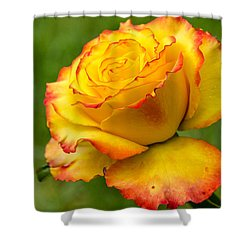 Two Toned Rose  Shower Curtain by Martina Fagan