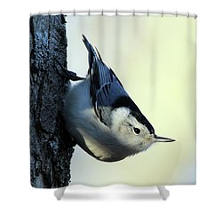 White Breasted Nuthatch Wading River New York Shower Curtain by Bob Savage