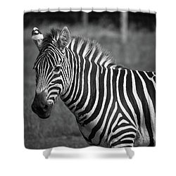 Shower Curtain featuring the photograph Zebra by Trace Kittrell