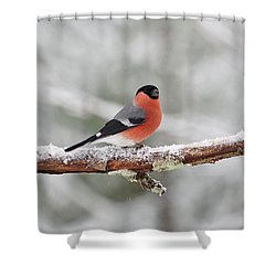 Eurasian Bullfinch Shower Curtain
