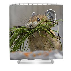 Pika With A Mouthful  Shower Curtain