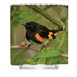 American Redstart Shower Curtain