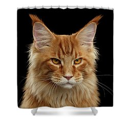 Angry Ginger Maine Coon Cat Gazing On Black Background Shower Curtain